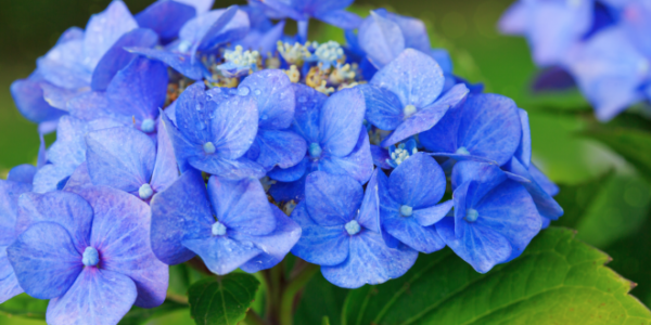 Bright And Beautiful Hydrangea Shrub
